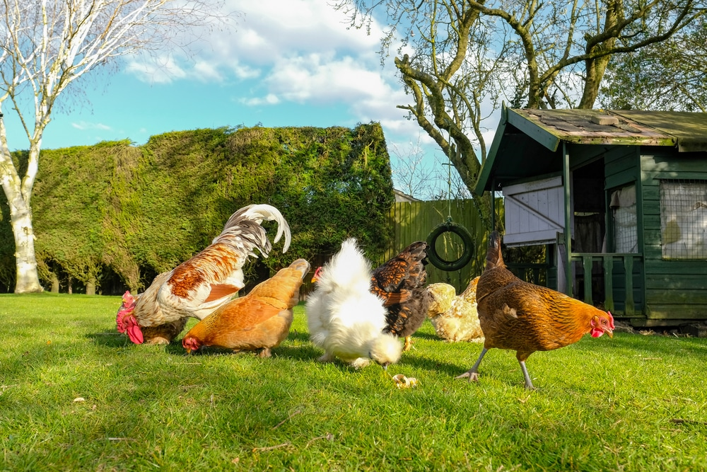 Small, free range flock of hens