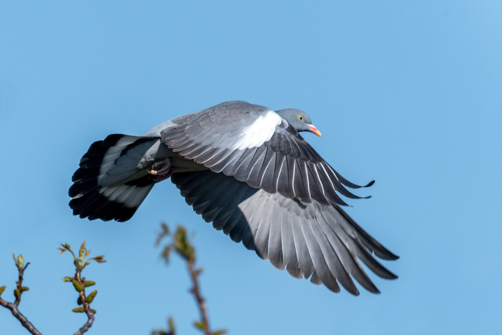 woodpigeon flying through a blue sky