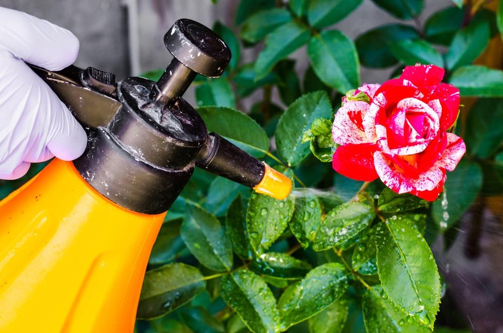 gardener spraying a rose bush