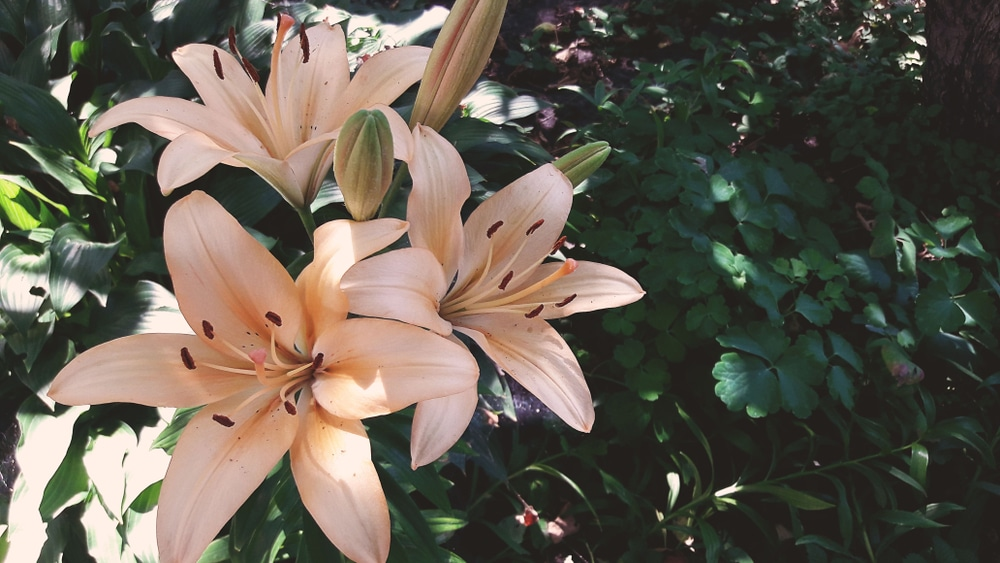 Beautiful lily flowers with green leaves in background