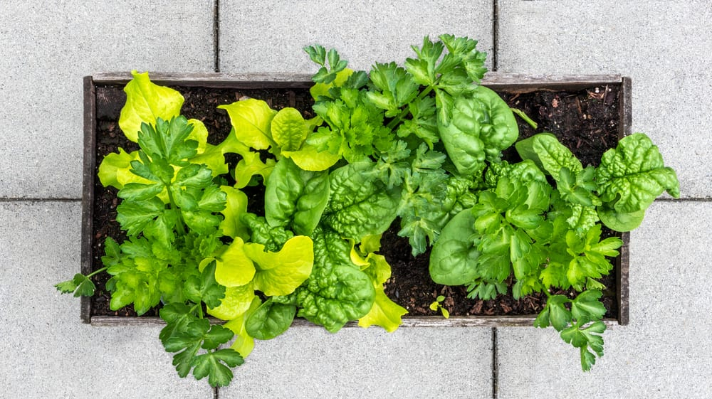 planter filled with lettuce, spinach and celery