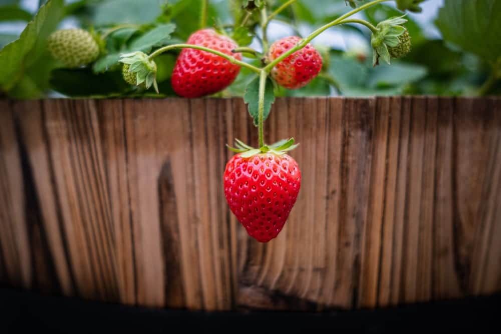 strawberries hanging over the side of a wood barrel