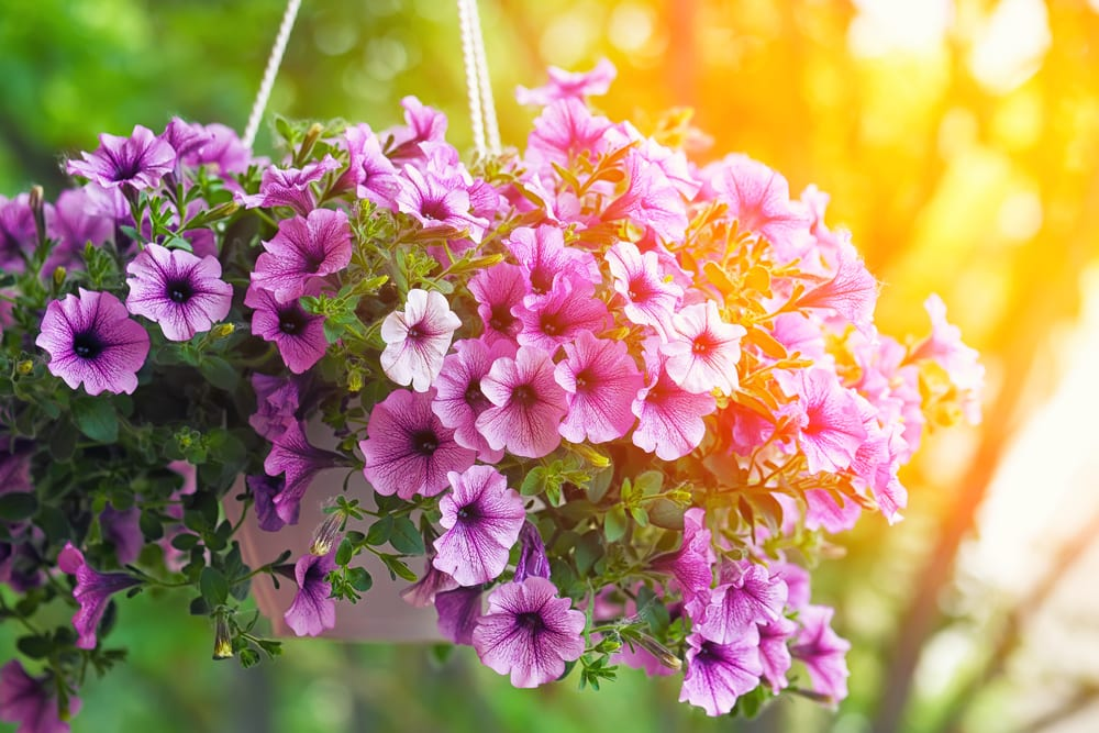 purple petunia flowers in a hanging planter