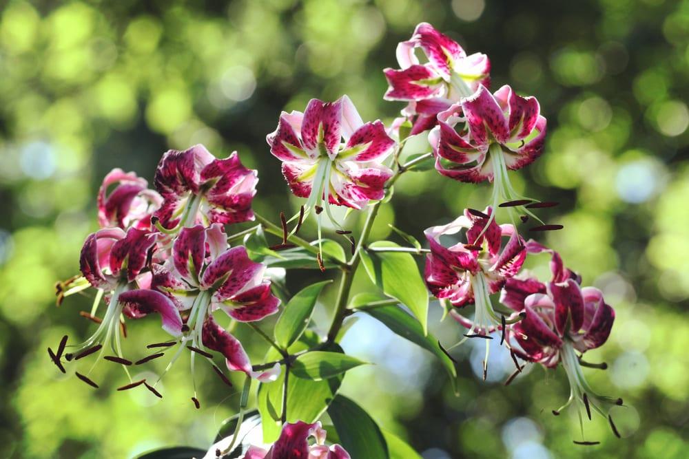 purple martagon lilies in summer sunshine