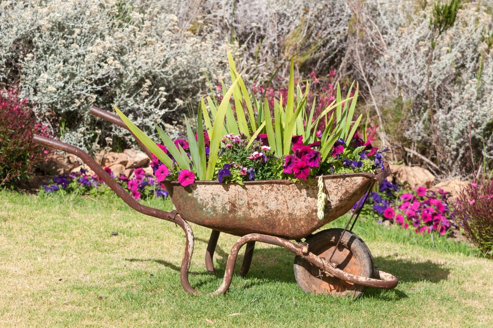 an old rusted wheelbarrow with stunning colourful plants growing from the top