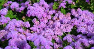 perennial garden plants with purple flowers