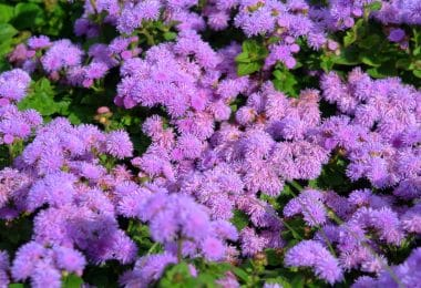 perennial garden plants with purple flowers
