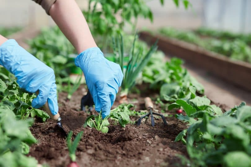 gardeners hands planting in soil