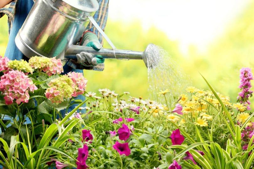 watering colourful flowers in garden