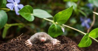 a mole on a heap of soil in the garden