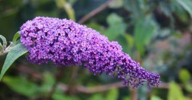 Close up of purple Buddleia plant