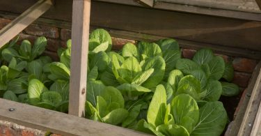 home grown pak choi in a cold frame