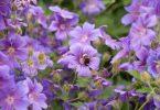purple geraniums and bumblebee in an english summer garden