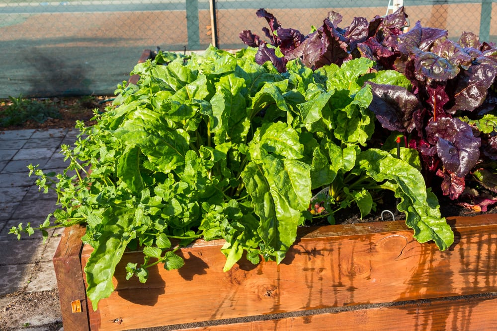 salad vegetables being grown in a wooden planter