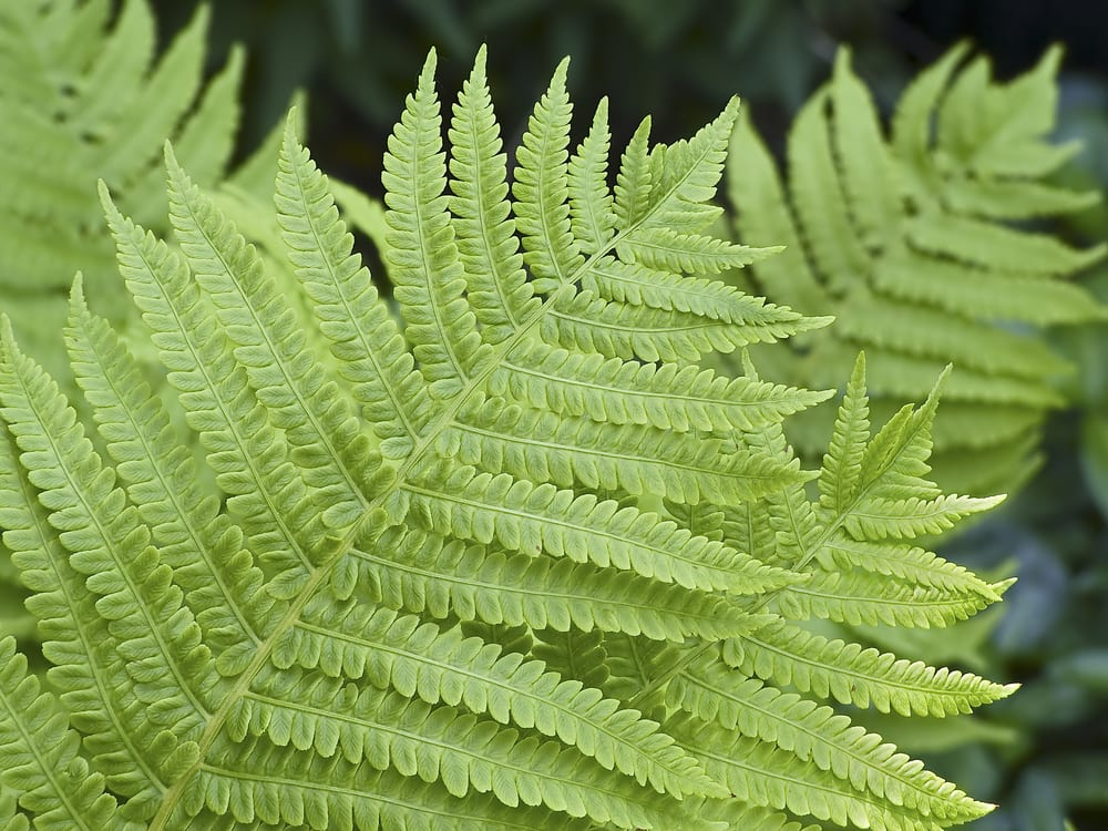 Close up of lady fern fronds