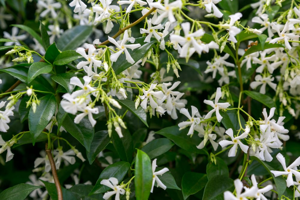 Jasmine vine in bloom with white flowers and green background foliage