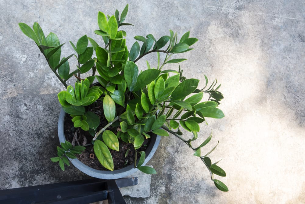 top view of a Zamioculcas plant in a pot on grey surface