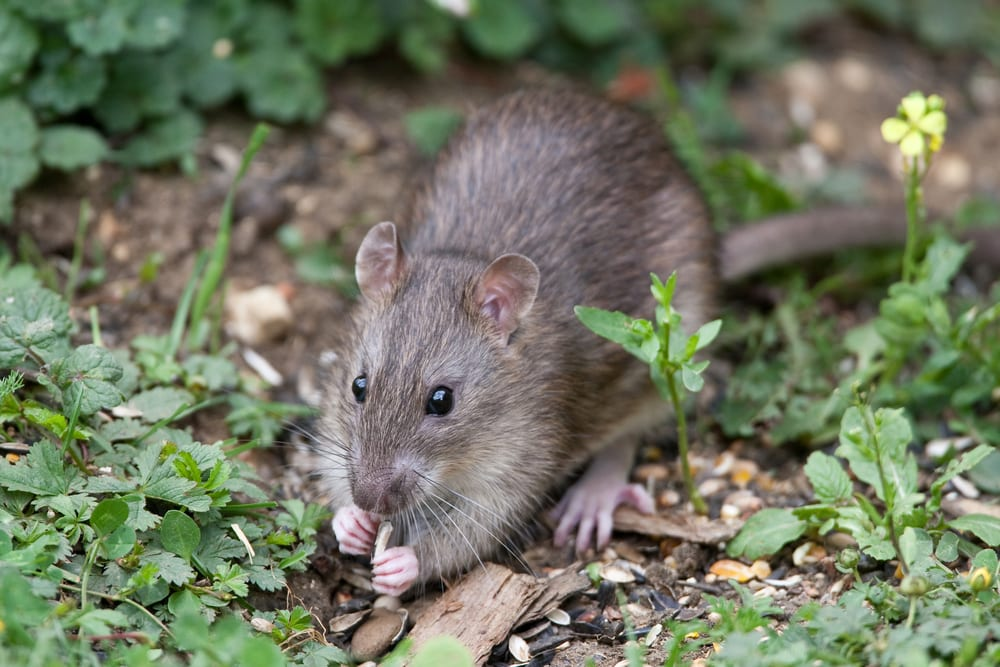 A wild brown rat eating seeds in a garden