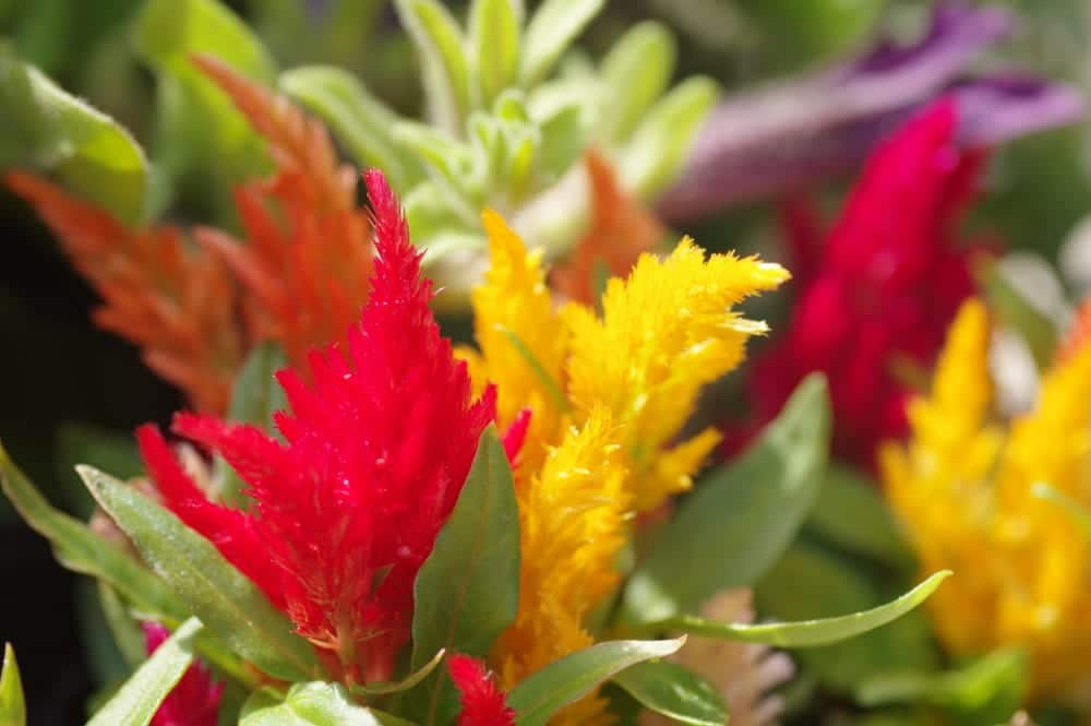 plumed cockscomb, celosia in red and yellow