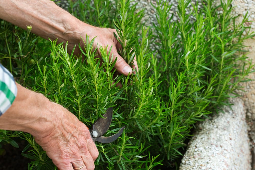 farmer trimming rosemary herbs