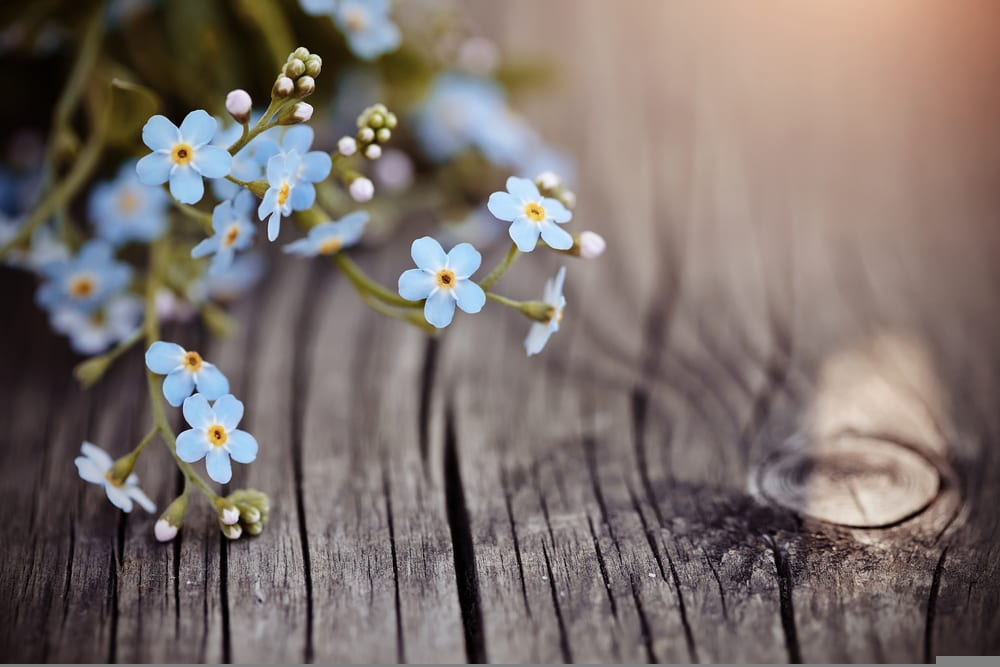 blue forget-me-nots on a timber background