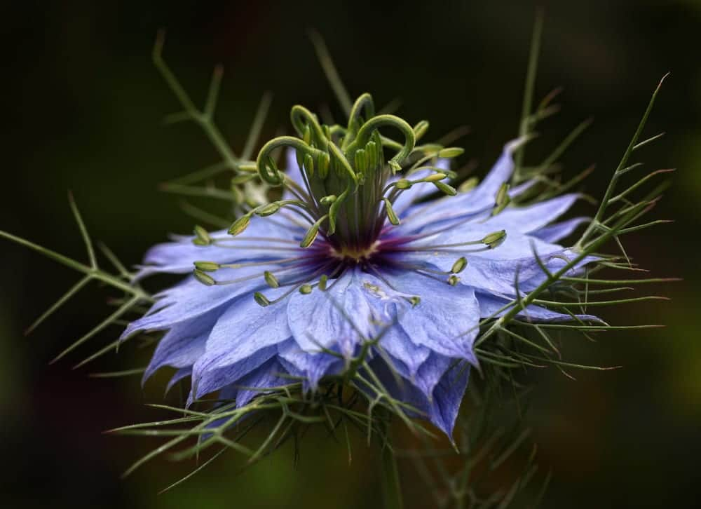 a solitary blue Love in a mist flower with dark background