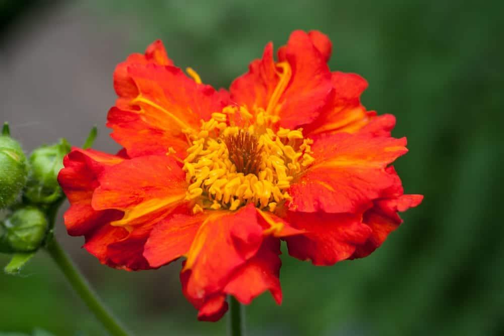 Dark orange Geum coccineum close up