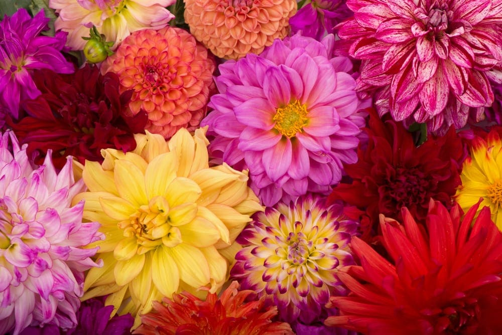 multicolour dahlia flowers