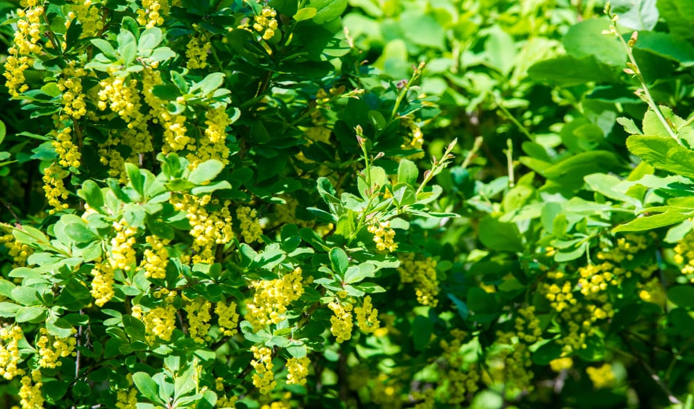barberry with green foliage and yellow berries