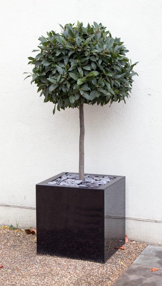 a bay tree in a black cube pot