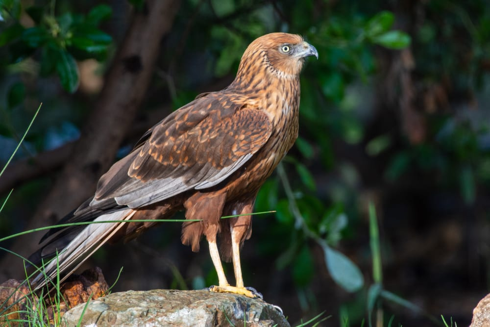 close up of a female western marsh harrier