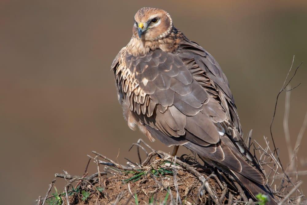 Hen Harrier sat on a nest