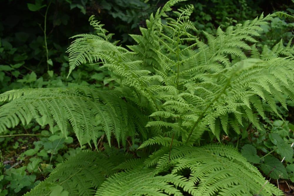 lady fern in the wild