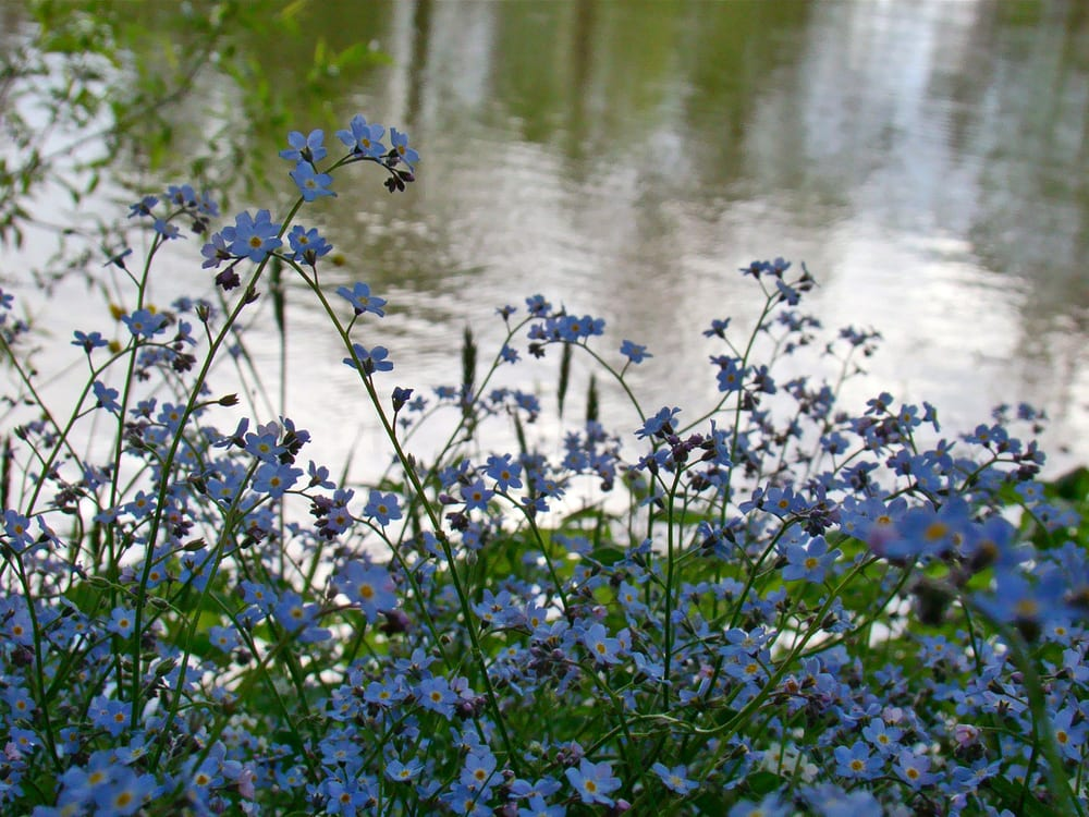 Forget-me-not flowers growing next to a pond