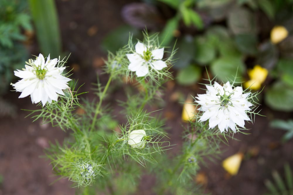 white nigella flowers on a background of green foliage