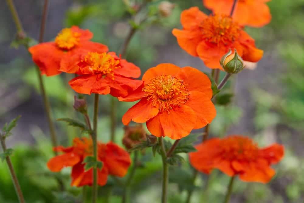 Orange flowers of Scarlet avens in focus