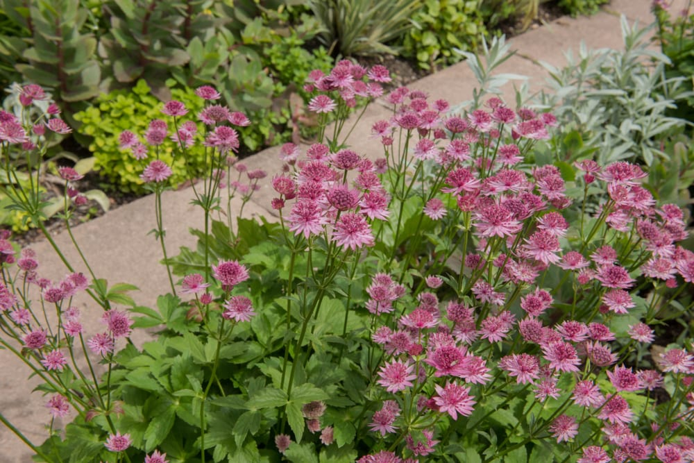 Pink flowering Greater Masterwort next to a garden path