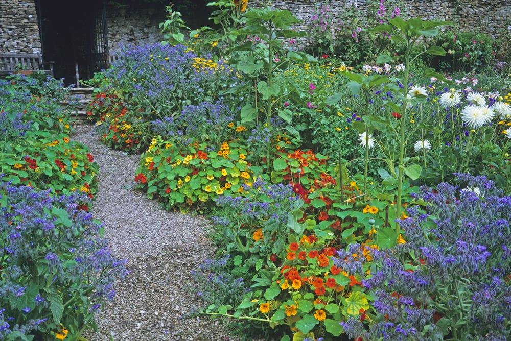 Dahlias, Borage and Nasturtium in an edible garden