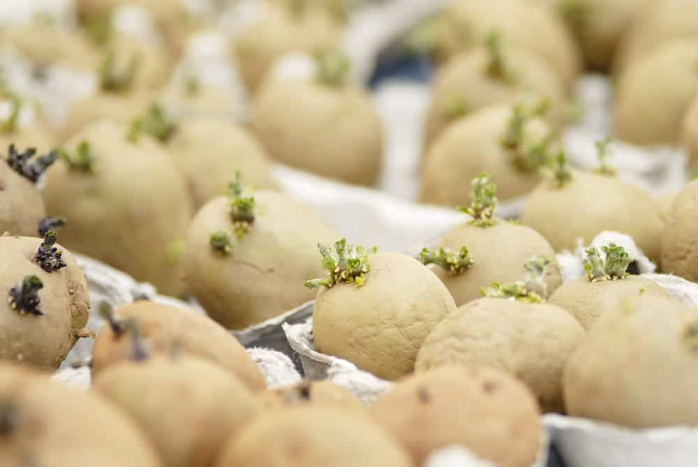multiple potatoes chitting in egg cartons