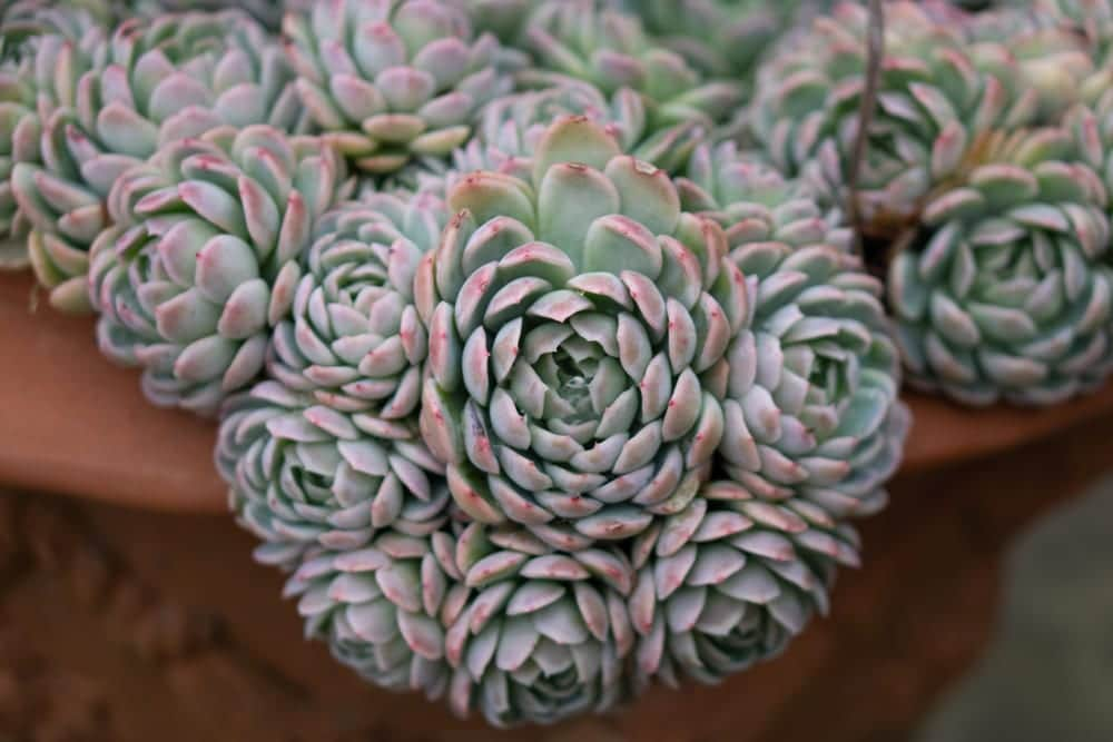 Close up of echeveria elegans growing in a terracotta pot