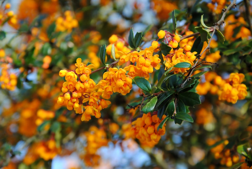 Dense clusters of small orange flowers on a branche of Darwin's barberry