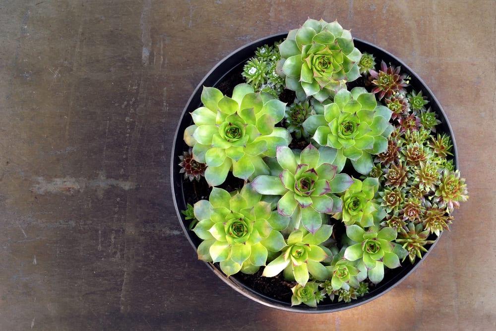 Houseleek offsets in a flower pot