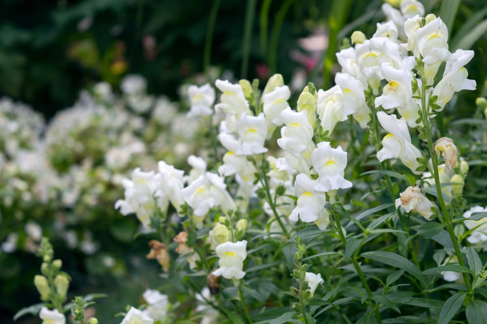 White antirrhinum flowers with green leaves