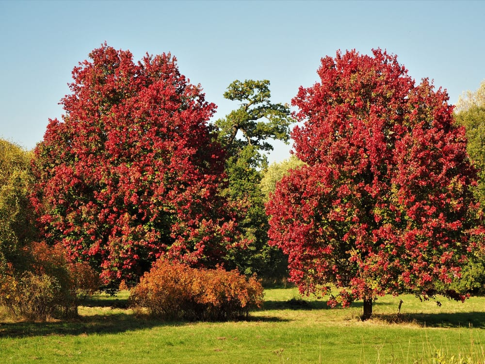 two 'October Glory' maple trees