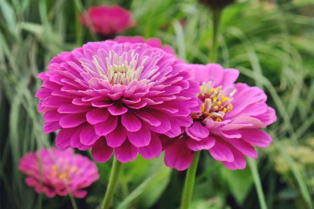 close up of purple prince zinnia flowers