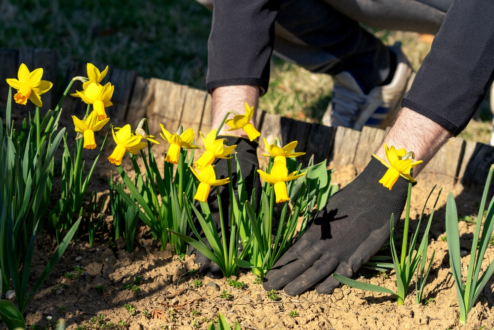 man with black gloves planting daffodil flowers