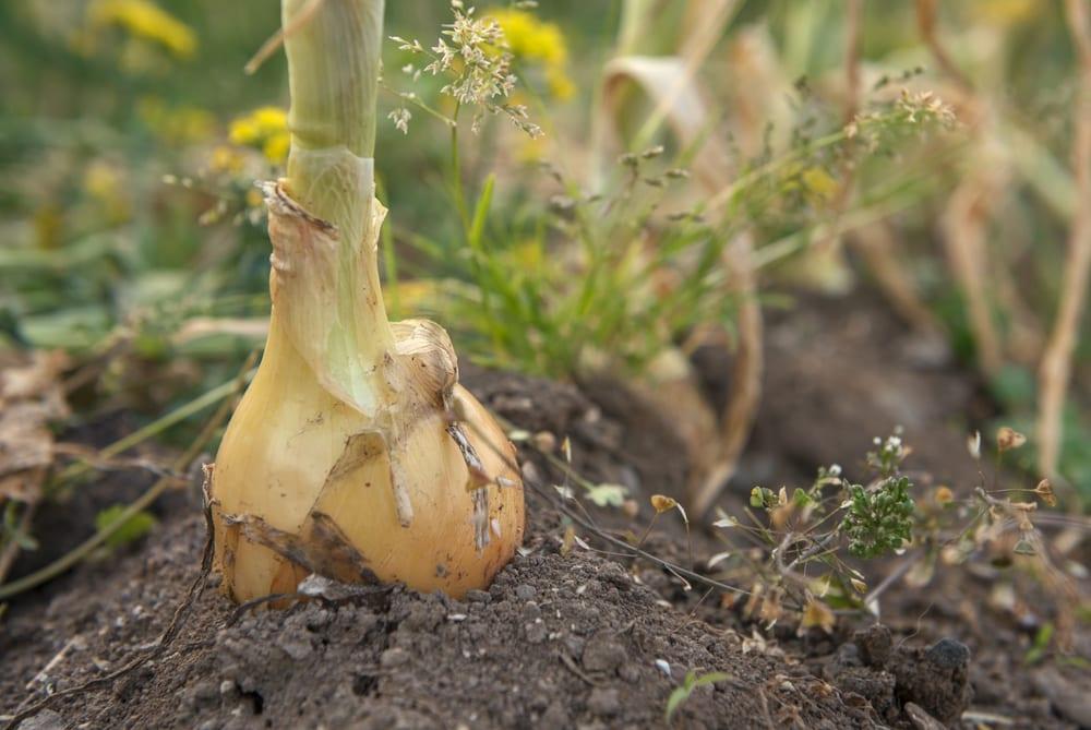 an onion sat in soil