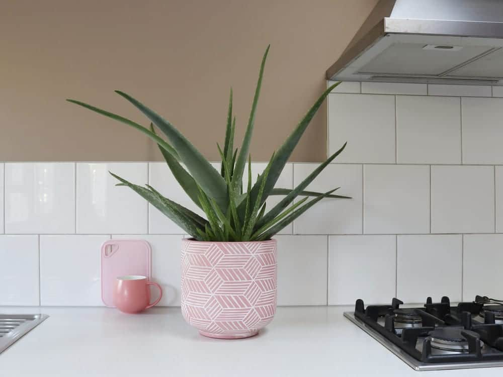 Aloe vera plant in a pink plant pot on kitchen worktop