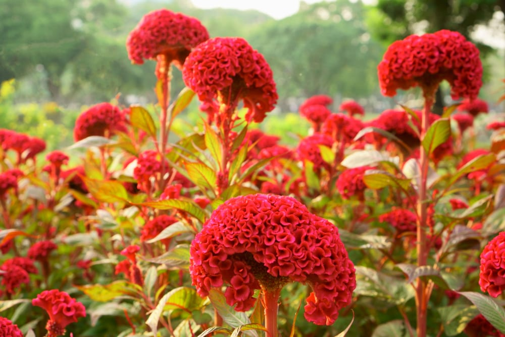 Field of red Cockscomb in a park