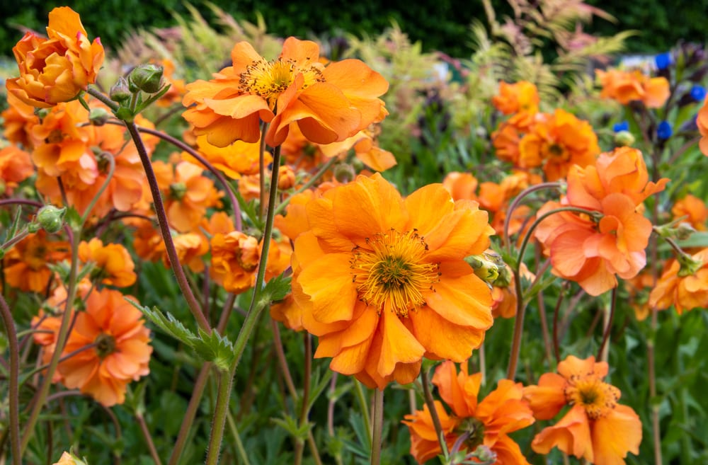 Light orange geum 'Fireball'